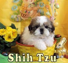 Cliquez pour voir la race des  SHIH TZUS