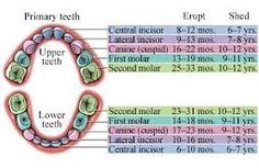 Children's Teeth-which ones fall out and approx age.