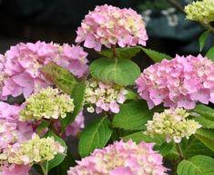 Hydrangea  macrophylla Bouquet Rose