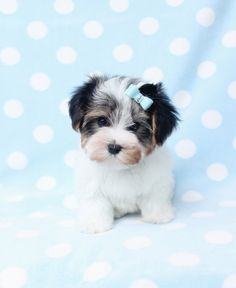 Biewer Yorkshire Terrier Puppies For Sale at TeaCups