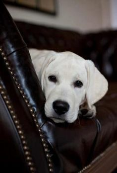 Texas White Lab.. Looks just like by buddy!! ;)