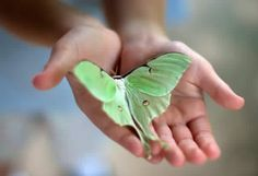 Moon moth  -aka the Luna Moth only lives for 7 short days!