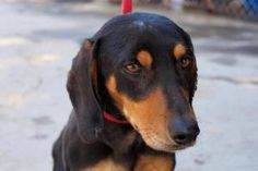 Caesar is an adoptable Dachshund Dog in San Diego, CA. Caesar is a Dauchshund, his estimated date of birth is 7-1-11 and he weighs 30 lbs. He is up to date on all of his shots and he is fixed. Please ...