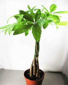 Glckskastanie Zimmerpflanzen Bilder Pflanzen Ideen