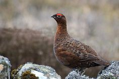 The only way I shoot grouse - with a camera. #Glorious12th #Scotland #wildlife