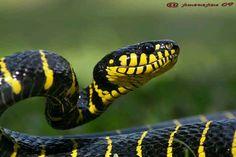Mangrove snake.