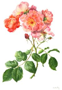 Westerland rose- I would most CERTAINLY have this tattooed!