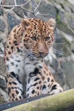 Amur Leopard, Edinburgh Zoo (by chriswilson4646)