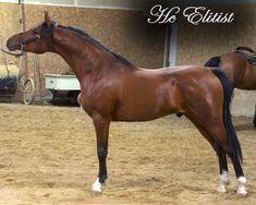 HcElitist - Stallion Data
