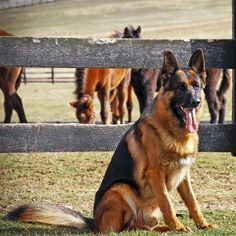 Handsome GSD!
