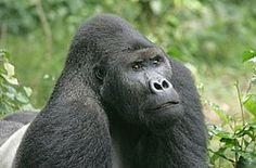 Vroege Vogels: Britse oliemaatschappij blijft buiten Virunga