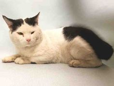 CARNEGIE - A1092690 - - Manhattan  ***TO BE DESTROYED 10/14/16***BLACK AND WHITE CUTIE WITH GREAT BEHAVIOR RATING NEEDS YOU! Carnegie is a seven year old sweetheart who was trapped in the Bronx by someone who makes a hobby and habit of dumping cats at the shelter. Carnegie is as kind and gentle as they come–he is tolerant of all petting and handling, enjoys attention and even likes being picked up. He is most likely someone's lost or abandoned pet. But tomorrow