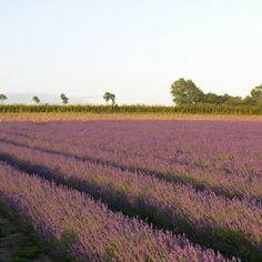 Farming Lavender