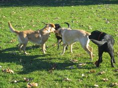 Vakvezető kutyák (kicsik és nagyobbacskák :) ) önfeledt játéka :)