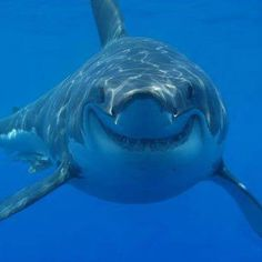 On this page you'll find a great collection of shark pictures and shark facts. I have included the great white shark, the tiger shark, the whale. The Great White, Great White Shark, Orcas, Sharks With Human Teeth, Shark Cage, Shark Facts, Shark Pictures, Shark Photos, Funny Pictures