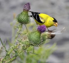 American Goldfinch by marty_pinker, via Flickr
