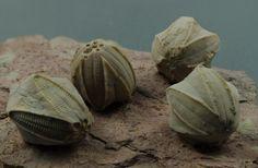Blastoids (Class Blastoidea) are an extinct type of stemmed echinoderm. Often called sea buds, blastoid fossils look like small hickory nuts.