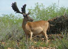 chocolate fallow deer Water Deer, Fallow Deer, Oh Deer, Chipmunks, Otters, Big Cats, Mammals, Squirrel, Moose