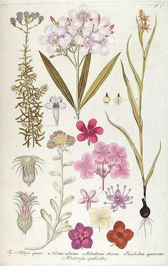 botanical illustration Vienne 1809