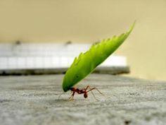 EJEMPLOS DE LA FUERZA DE LAS HORMIGAS. una buena lección!  hormigas.jpg