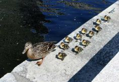 It takes a village. Brown University helps ducklings get to the river!