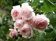 Large-flowered Climbing Rose: Rosa 'Nahéma' (France, 1991)