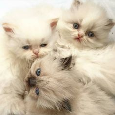 @himalayan.perisankittens - Three beautiful little kittens from #California  #cutecatskittens #cat #love #cats #instacat #instacats #catstagram  #cats_of_instagram #catsofinstagram #meow #animals #animal #pet #pets #cute #cutecat #kittens #lovecats #instaphoto #awesome #nofilter #followforfollow #follow4follow #picoftheday #kitten #petoftheday #adorable #catlover