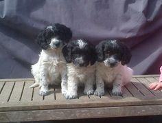 SPRINGERDOODLE PUPPYS for sale