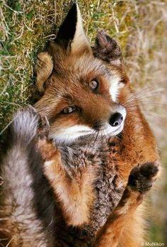 Pin by Dana Kettu on Füchse ❤️ Nature Animals, Animals And Pets, Baby Animals, Funny Animals, Cute Animals, Beautiful Creatures, Animals Beautiful, Beautiful Beautiful, Fantastic Fox