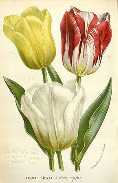 147404 Tulipa gesneriana L. var. hortensis / Houtte, L. van, Flore des serres et des jardin de l'Europe, vol. 16: t. 1682 (1845)