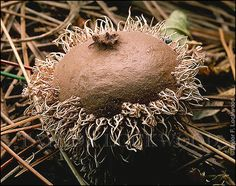 Lycoperdon americanum ©2013 by Taylor F. Lockwood