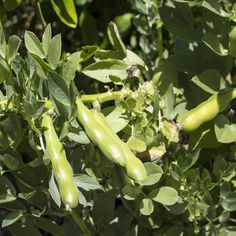 Buy Fava bean seeds from Outsidepride. Fava beans make a great cover crop seed as well as food plot source. Food Plot, Bean Seeds, Fava Beans, Sandy Soil, Cannabis Growing, Marijuana Plants, Organic Matter, Weed, Lush