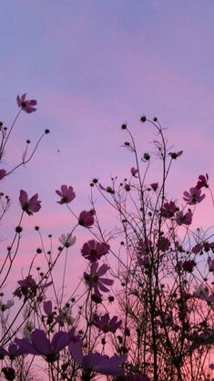 flower, flowering plant, sky, plant, pink, garden cosmos, iphone wallpaper