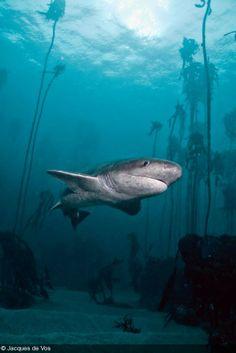 Shark by Jacques de Vos