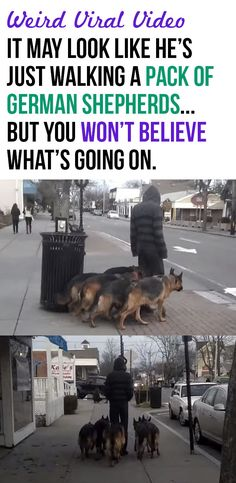At first glance, it may look like this man is simply walking a pack of German Shepherds… but keep watching, because there is something very interesting going on here.