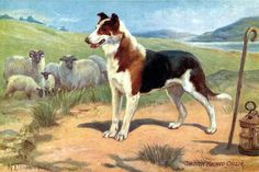 Smooth Haired Collie Dog. To see our old postcards of animals visit http://oldstratforduponavon.com/animals.html