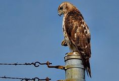 Hi folks sorry for the hiatus. A little burnt out from posting nearly every day and a new job. This Red-tailed Hawk was keeping lookout perched outside my workplace. Maybe they are the new supervisor? Red Tailed Hawk, Birds Of Prey, Bald Eagle, Workplace, The Outsiders, Nature, Photos, Instagram, Naturaleza