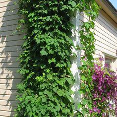 Humala - Viherpeukalot Humala on nopeakasvuinen ja kestävä köynnöskasvi, joka peittää rehevän kasvustonsa ansiosta seinät ja säleiköt. Viihtyy parhaiten kosteassa ravinteikkaassa multamaassa. Toimituskorkeus 15-20 cm.