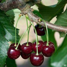 Cherry 'Black Tartarian' — Green Acres Nursery & Supply Types Of Cherries, Sweet Cherries, Cherry Tree Varieties, Black Cherry Tree, Trees For Front Yard, Early Spring Flowers, Overwintering, Cherry Fruit, Tree Seeds
