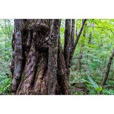 【tmykphoto】さんのInstagramをピンしています。 《2016.9.12  #白神山地 #世界遺産 #世界自然遺産 #ブナ #橅 #森 #forest #一人旅 #旅 #東北旅行 #travel #trip  #写真好きな人と繋がりたい #カメラが好きな人と繋がりたい #ファインダー越しの私の世界 #写真 #カメラ女子 #カメラ男子 #japan #photo #photography #photograph #followme  #一眼レフ #ニコン #nikon #d810 #東京カメラ部》