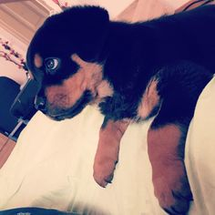 Two months rottweiler puppy with green eyes  #enzo
