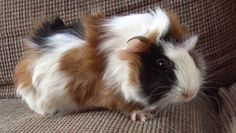 Petfinder Adoptable | Guinea Pig | Guinea Pig | Steger, IL | Honey Wheat