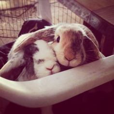 My bunnies, Matilda and Harper, used to sit like this with M's ear over H.