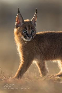 """The caracal is a medium sized cat which it spread in West Asia, South Asia, and Africa. The word Caracal is from Turkey """"Karakulak"""" which means """"Black Ears"""". Here is all about caracal as a pet. Caracal Caracal, Caracal Kittens, Serval Cats, Cats And Kittens, Baby Caracal, Small Wild Cats, Big Cats, Cute Cats, Lynx"""