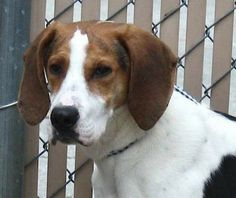for sale, Treeing Walker Coonhound - Tessa - Large - Adult - Female - Dog Tessa is around . Americanlisted has classifieds in Franklin Heights, Virginia for dogs and cats. Kennel hounds, dogs and all kinds of cats Treeing Walker Coonhound, Kinds Of Cats, Love Your Life, Border Collie, Dog Cat, Female, Pets, Animals, Board