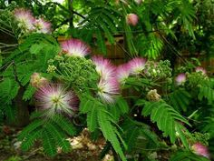 "Mimosa trees! Growing up we called them ""powder puff trees.""  They're fragrant, beautiful, messy and invasive plants."