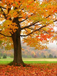 Simple autumn beauty - - Sugar maples are my favorite autumn trees. They display a rainbow of brilliant fall colors. Fall Pictures, Nature Pictures, Autumn Scenes, Fall Wallpaper, Autumn Aesthetic, Harvest Moon, Nature Scenes, Autumn Inspiration, Amazing Nature