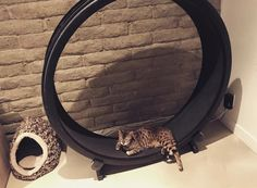 Meet one of our cutest cat resting on her One Fast Cat Wheel after a long work out! Kittens Cutest, Cute Cats, Funny Cats, Cat Exercise Wheel, Unique Cats, Sleepy Cat, Meet, Kitty, Pretty Cats