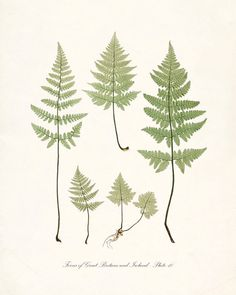 Vintage Botanical Print  Ferns of Britain and by HighStreetVintage, $15.00