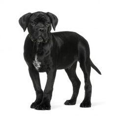 133 Fantastiche Immagini Su Razze Canine Cubs Dog Breeds E Pets